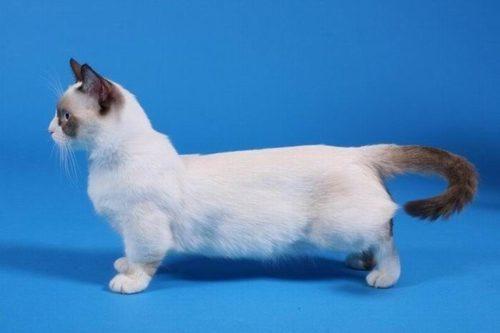 Кот породы манчкин на синем фоне
