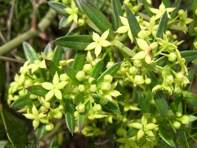 Растение марена красильная