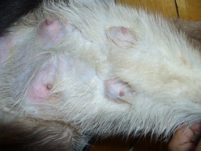 У кошки воспалились молочные железы