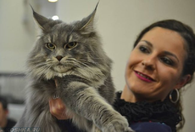 Пушистый кот породы мейн кун и женщина