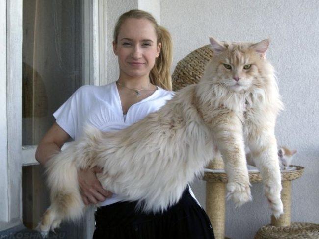 Взрослый кот породы мейн кун