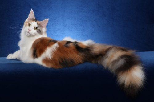 Пушистая кошка породы мейн кун