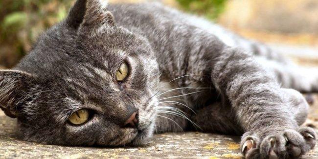 Симптом микроинсульта у серого кота
