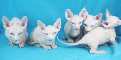 Кошки породы минскин.