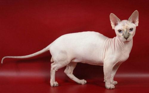 Кошка породы минскин на красном фоне