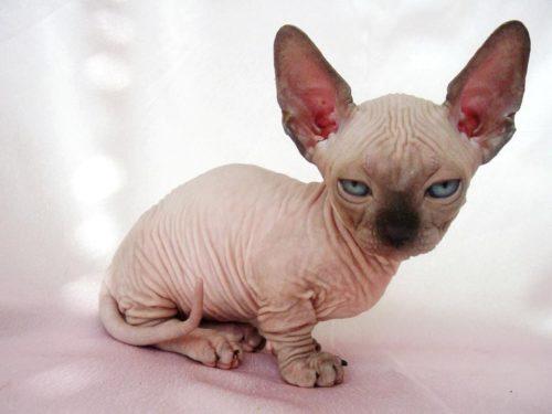 Кошка породы минскин