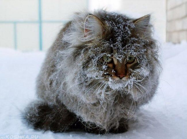 Переохлаждение пушистого кота на улице зимой