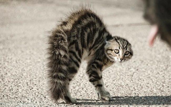 Поза для нападения у пушистой кошки