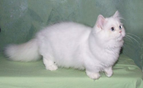 Белый кот наполеон