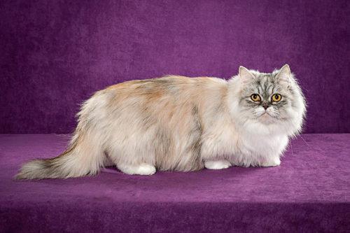 Кот наполеон на бархатной ткани