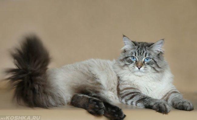 Спокойная и дружелюбная невская маскарадная кошка