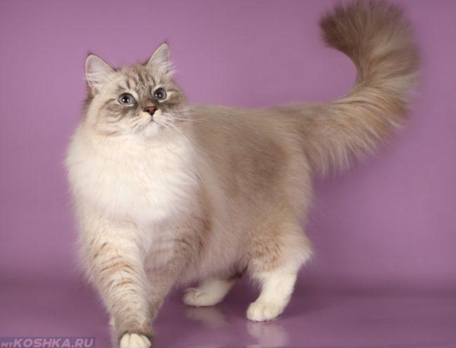 Невская пушистая маскарадная кошка