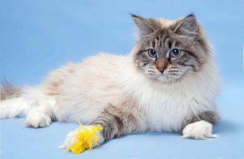 Маскарадная кошка на голубом фоне