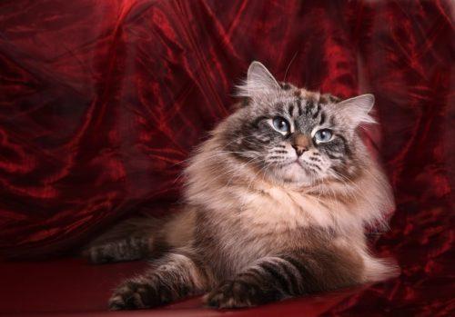 Невская маскарадная кошка на красном фоне