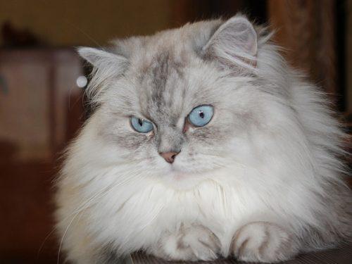 Невский серый маскарадный кот