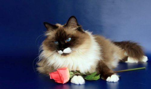 Невский маскарадный кот и цветок