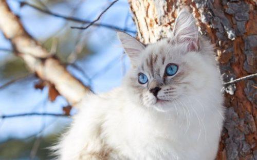 Невская маскарадная кошка на природе