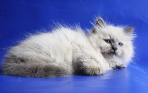 Невский пушистый маскарадный котенок
