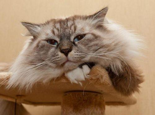 Невский маскарадный кот облокотившийся на лапу