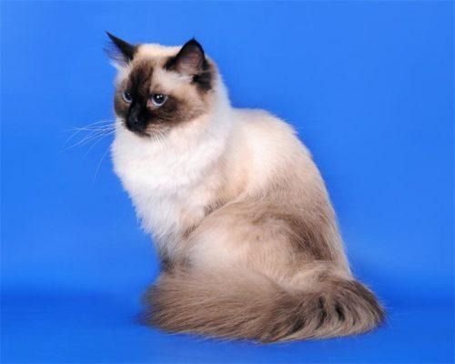 Маскарадная кошка на синем фоне