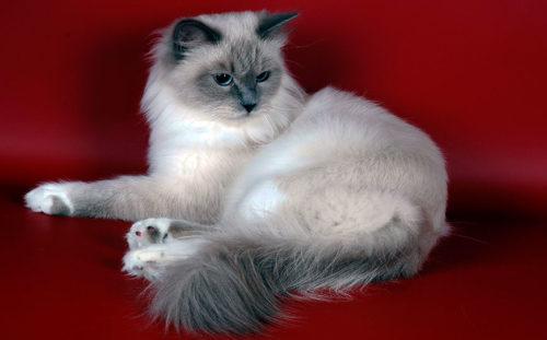 Маскарадная кошка на красном фоне
