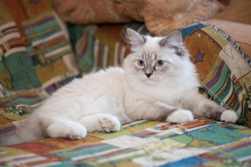 Белая маскарадная кошка