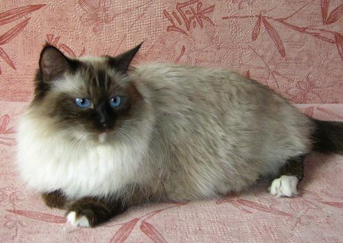 Невская маскарадная кошка с голубыми глазами
