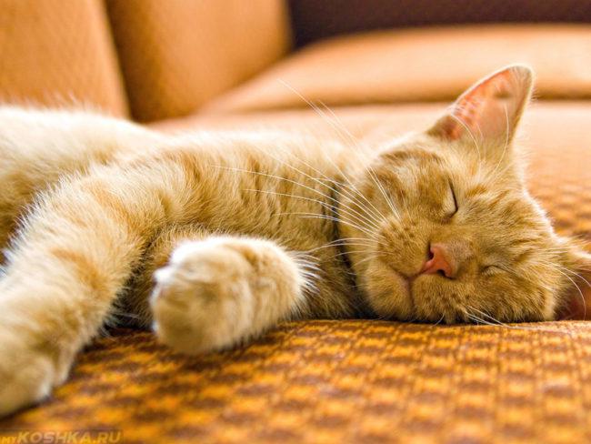 Рыжий пушистый кот спящий на диване