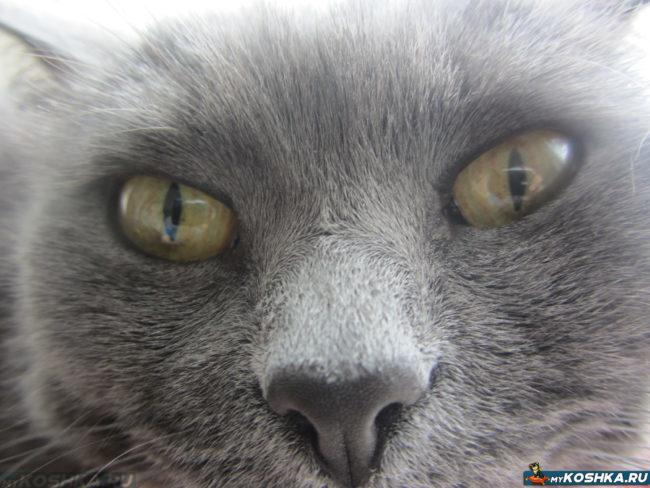 Нос здоровой британской кошки