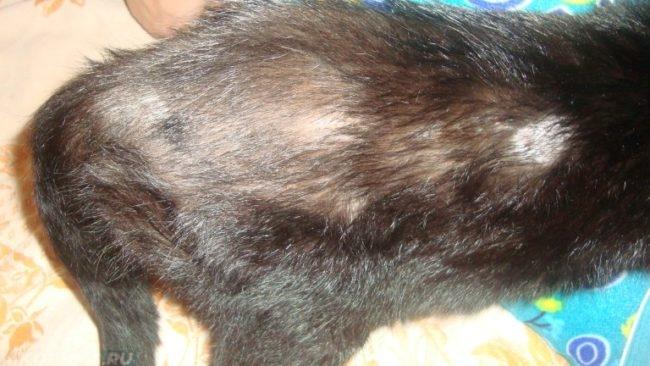 Облысение у черного кота