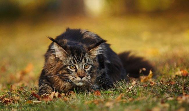 Кот породы мейн кун на охоте