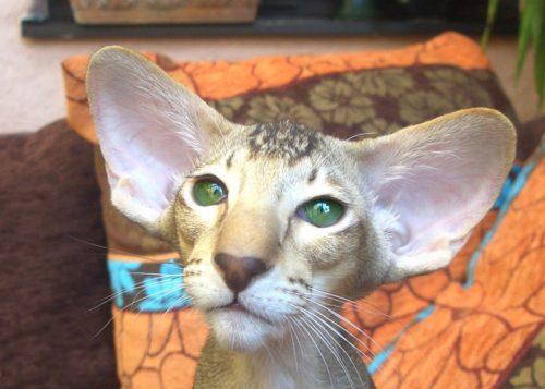 Ориентальная кошка с большими ушами