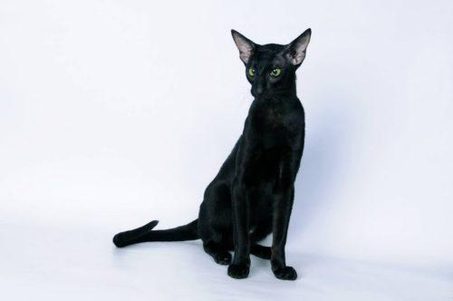 Черная ориентальная кошка