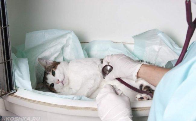 Кот прослушиваемый стетоскопом