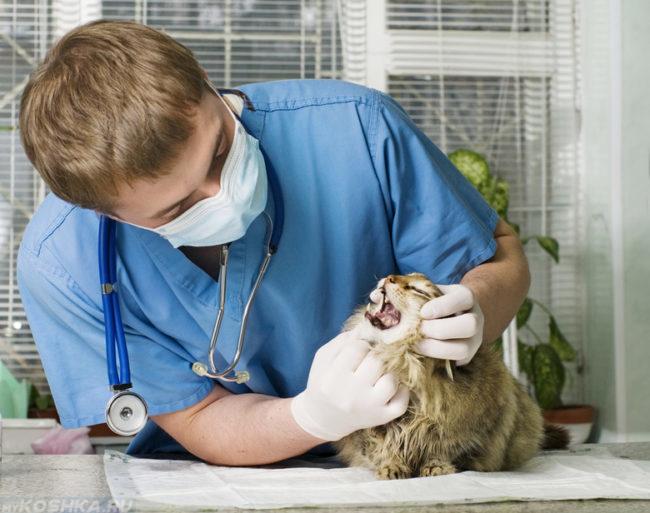 Осмотр кошки на ветеринарном столе