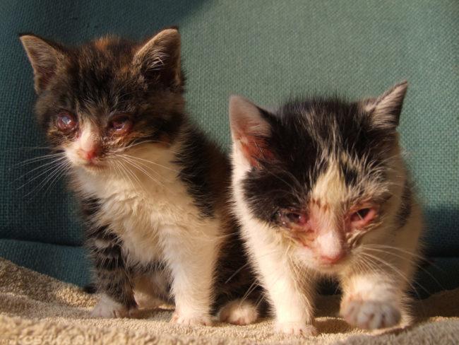 Панофтальмит у пушистых и грязных котят