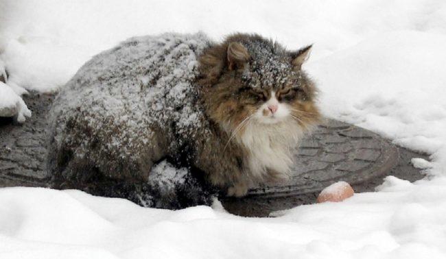 Переохлаждение пушистой кошки