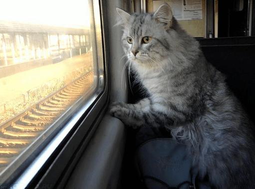 Пушистая кошка смотрит в окно поезда