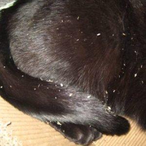 Перхоть на спине у кошки ближе к хвосту