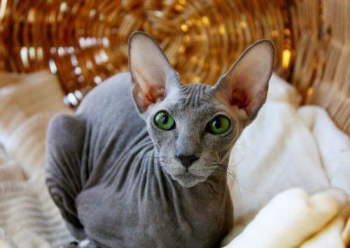 Кошка породы петербургский сфинкс