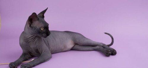 Кошка породы петербургский сфинкс на сиреневом фоне