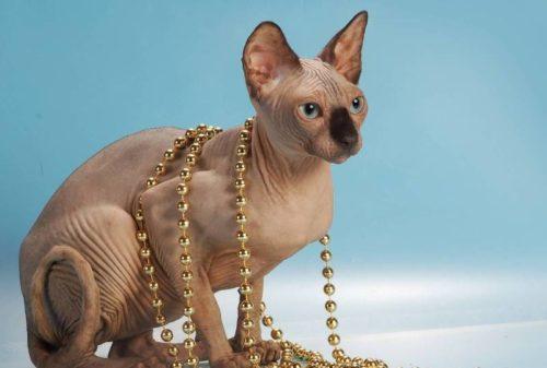 Кошка породы петербургский сфинкс и бусы