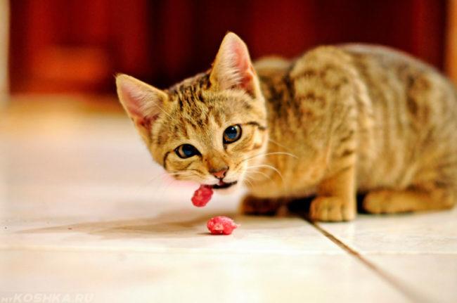Рыжий кот употребляющий в пищу кусочек красного мяса