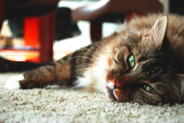 Пушистый кот с зелеными глазами смотрит в кадр