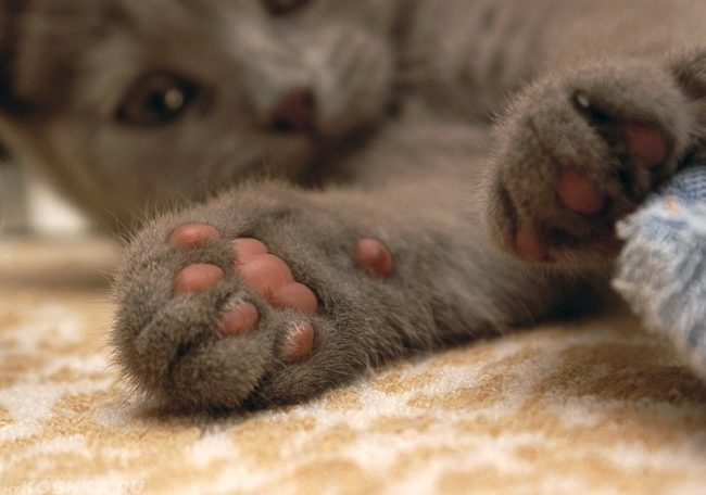 Подушечки лап серого пушистого кота