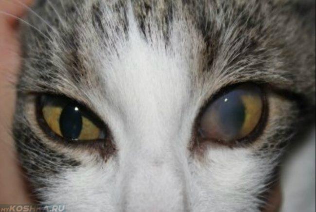 Помутнение роговицы при кератите у кота