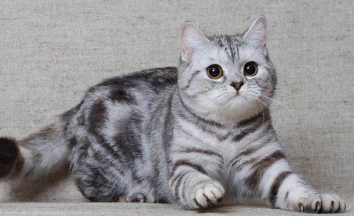 Шотландская прямоухая кошка на сером фоне