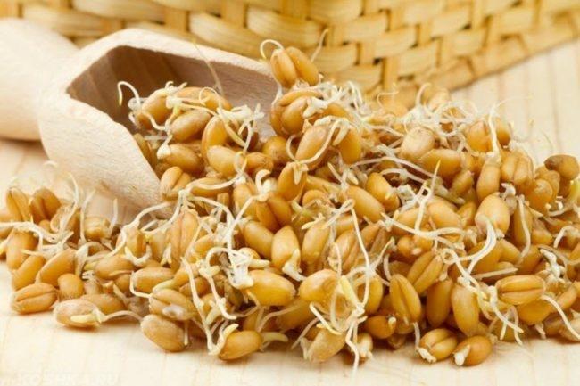 Проросшая пшеница на столе