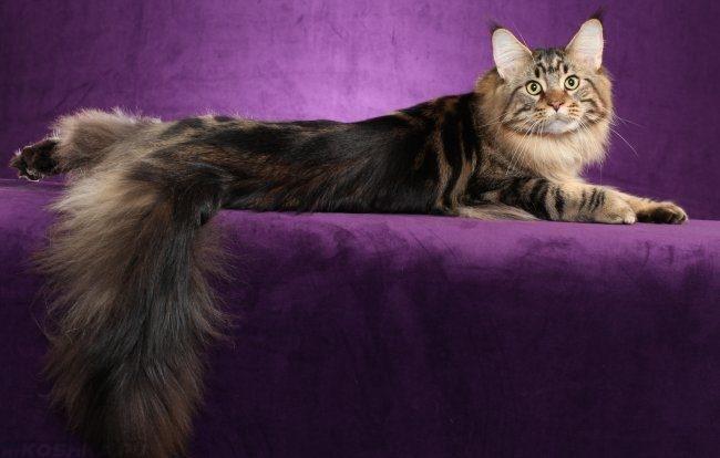 Кошка породы мейн кун с пушистым хвостом