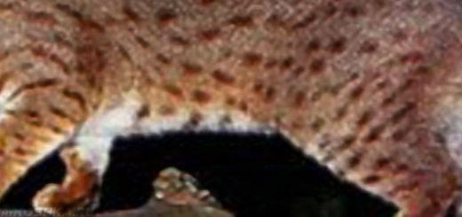 Самая маленькая порода кошек ржавая